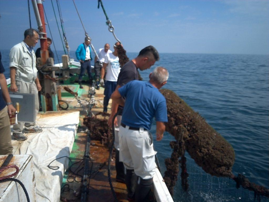 岩ガキの稚貝12万個垂下